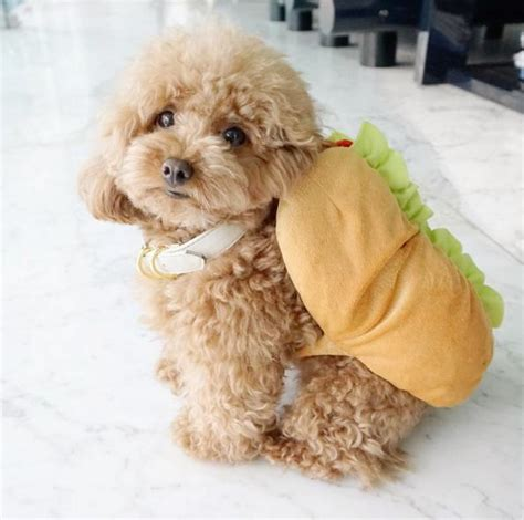 ginger doodle ginger doodle is the internet s cutest little toy poodle