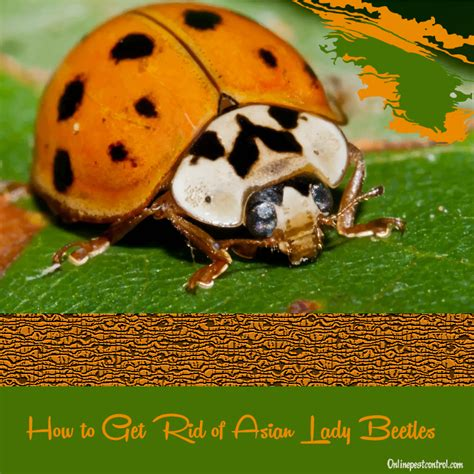 how to get rid of ladybugs in your home 28 images fly