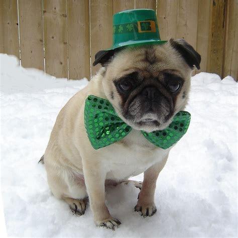 st patricks day pug st day pug frugal holidays