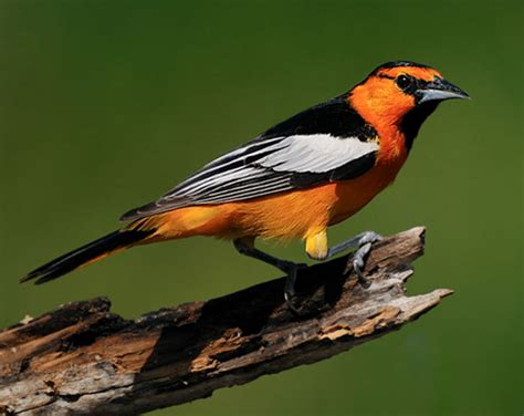 bird species bullock s oriole
