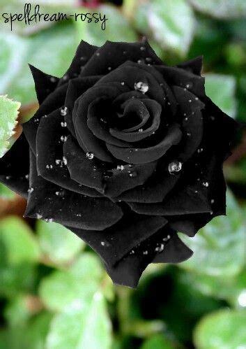 imagenes en negro y rosa m 225 s de 25 ideas fant 225 sticas sobre rosas negras en