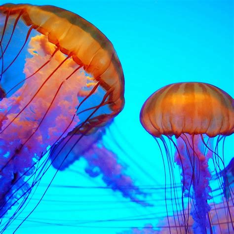 what color are jellyfish colorful jellyfish colors bold beautiful