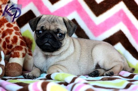 pugs for sale san antonio best 25 pug puppies for sale ideas on pugs pug puppies and baby pugs for