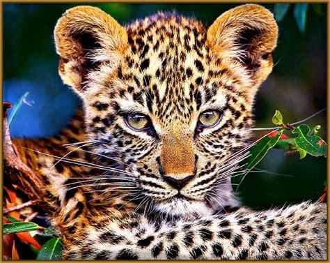 imagenes de tigres leones y leopardos imagenes de tigres bonitos bebes y leopardos fotos de tigres