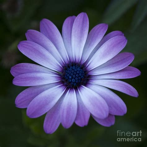 gerbera daisy tattoo gerbera purple flowers gerbera