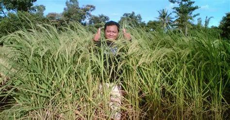 budi daya padi pada lahan marjinal budidaya padi organik nasa pupuk organik cair