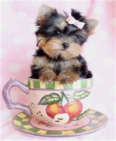 teacup yorkies for sell teacup puppies on teacup puppies teacup yorkie and teacup puppies