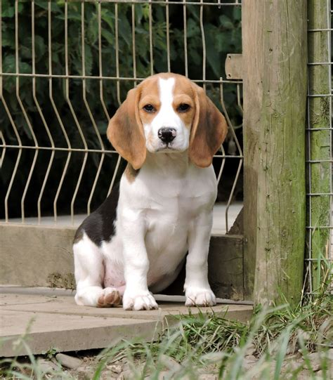 register puppy kennel club registered beagle puppy maryport cumbria pets4homes