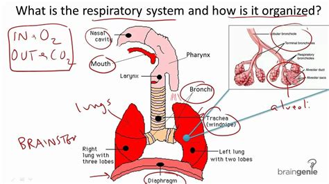 All Sections Of by All Parts Of Respiratory System And Its Function