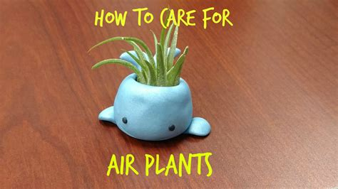how to care for a how to care for air plants