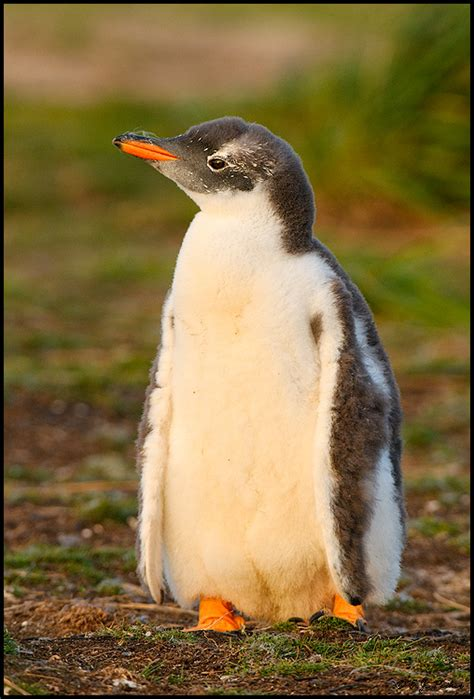 Gentoo Penguin Page