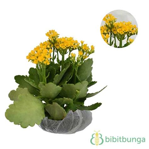 tanaman kalanchoe kuning bibitbunga
