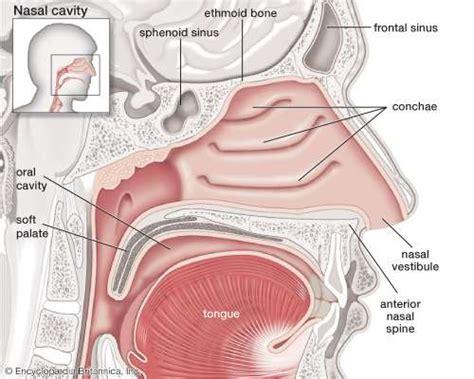 bone setter definition nose anatomy britannica com