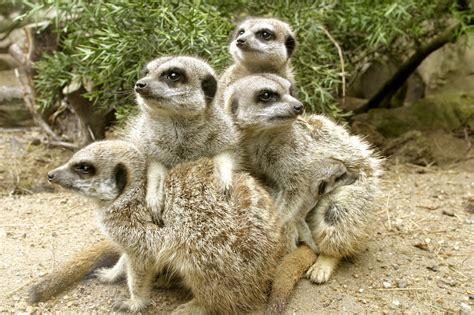 animal pictures meerkat the animals kingdom