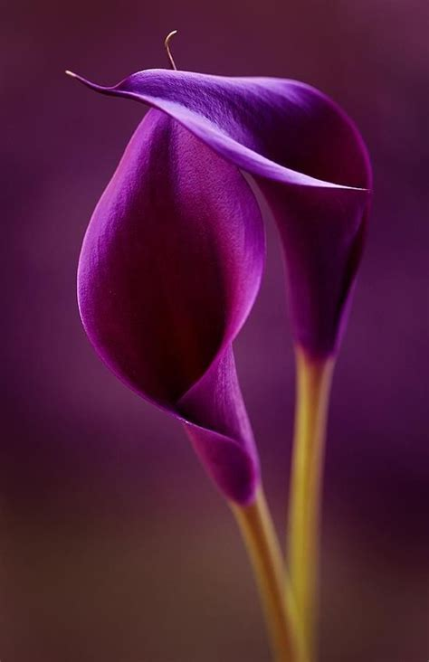 17 best images about calla lily on pinterest punch art