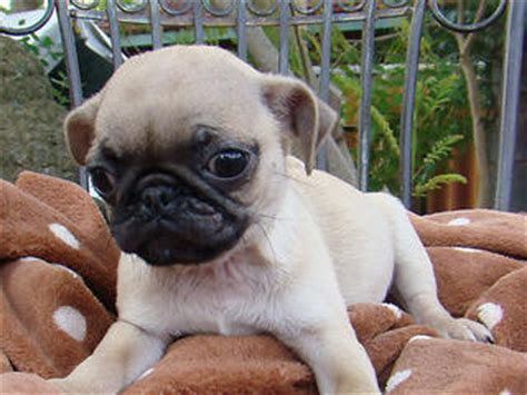 pugs for sale tasmania for sale pug billie 9 weeks tiny boy