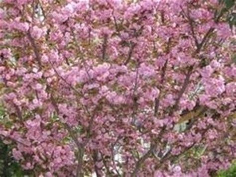 fiore di ciliegio significato significato fiori di ciliegio linguaggio dei fiori