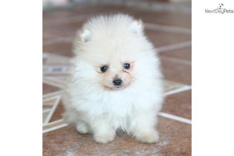4 pound pomeranian meet braveheart a pomeranian puppy for sale for 1 475 braveheart
