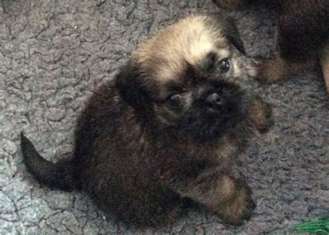 pug and shih tzu mix puppies for sale drawer of adorable mix pug shih tzu puppies south west pets4homes