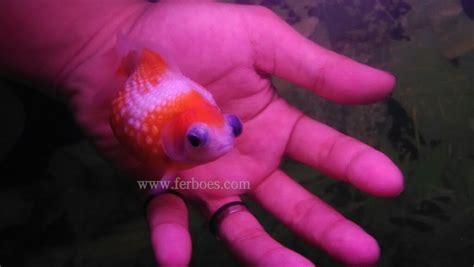 Ikan Koki Demekin ikan koki mutiara demekin telescope eye pearlscale