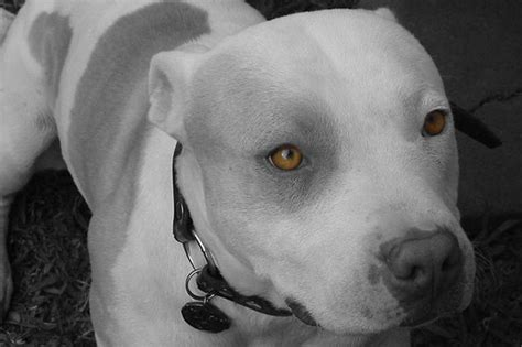 grand dogs grand chion pitbull fighting dogs search engine at search