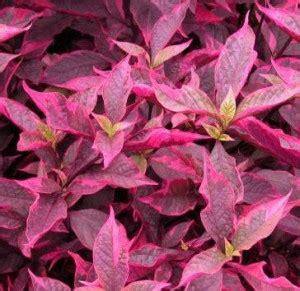 60 Biji Benih Wortel Chantenay Cored benih bayam merah spinach