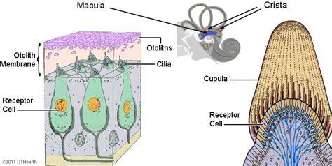vestibular nerve definition neuroanatomy online lab 6 auditory vestibular