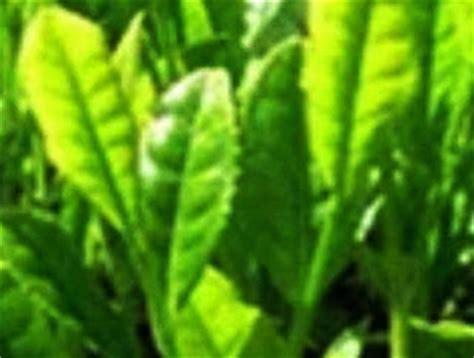 Teh Ginseng Merah foto tanijogonegoro herbal tanaman