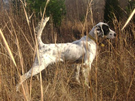 setter gun dog training dogwood birddogs son of cant go wrong thunderluck