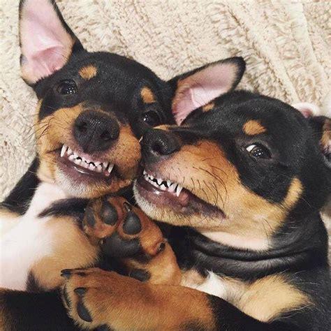 puppy pins 17 best ideas about miniature pinscher on mini pinscher miniature dogs