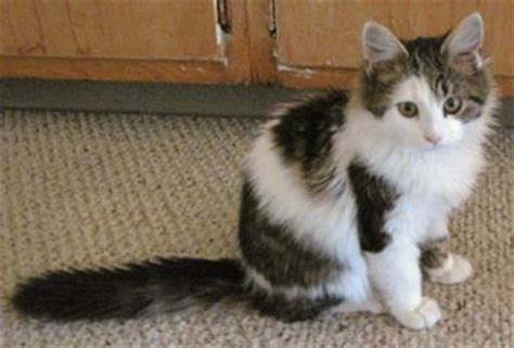 Sammie   Maine Coon Mix or Not