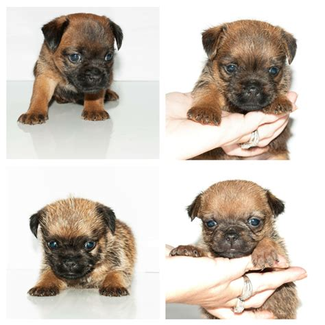border terrier pug 3 4 border terrier 1 4 pug puppies hessle east of pets4homes