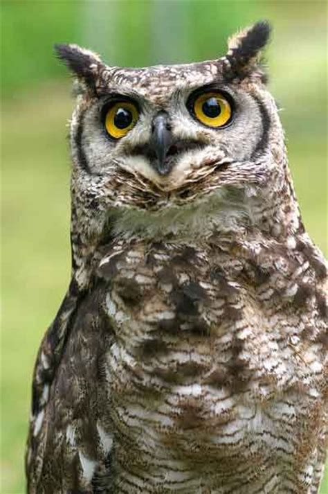 african spotted eagle owl marie loves owls pinterest
