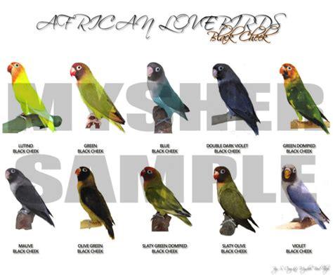 Pakan Lolohan Yang Bagus Untuk Lovebird lovebird quot hoby yang menguntungkan sejarah lovebird