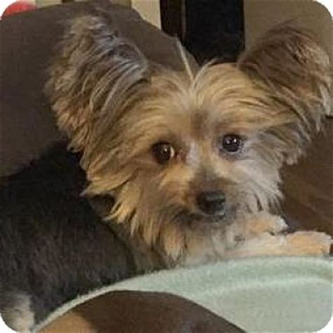 yorkie puppies for adoption in illinois normal il yorkie terrier meet maalika a for adoption
