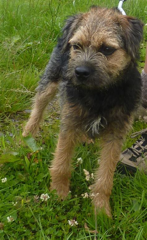 border terrier puppies for adoption fudge 5 1 2 month border terrier for adoption