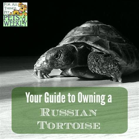 7 Tips On Caring For A Russian Tortoise by Best 25 Tortoise Ideas On Tortoises Tortoise