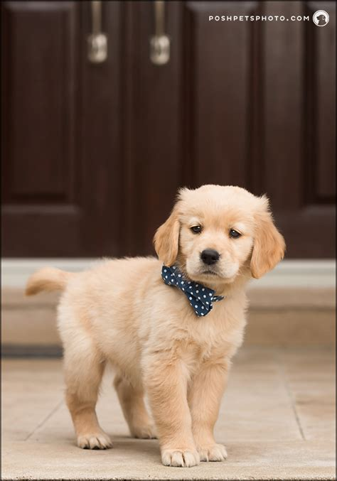 golden retriever puppies toronto the best way to enjoy your s puppy stage toronto ontario and cat