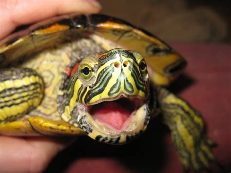 red eared slider tips page 3