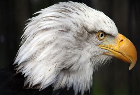 Eagle Head Pictures
