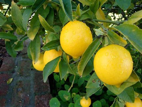 foglie gialle limone vaso pianta limone domande e risposte orto e frutta