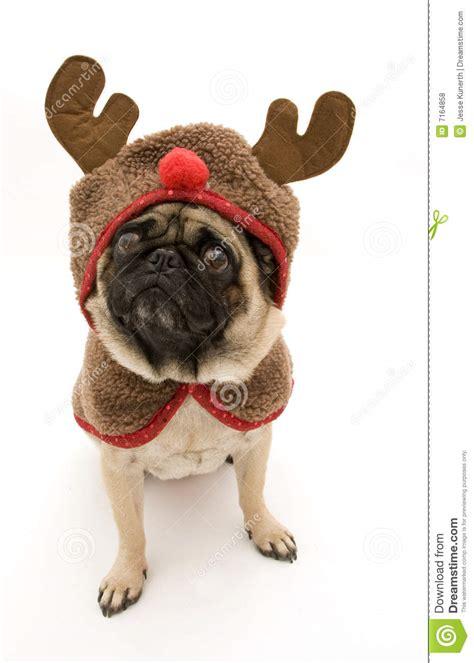 pug reindeer reindeer pug royalty free stock photos image 7164858