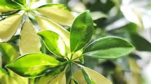 le schefflera une plante d int 233 rieure facile 224 vivre