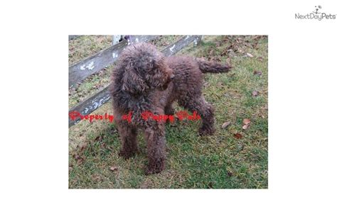 southern indiana poodle rescue mini doodles for sale breeds picture