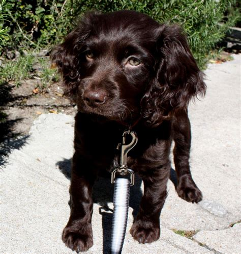 boykin spaniel puppies boykin spaniel puppy puppies puppy