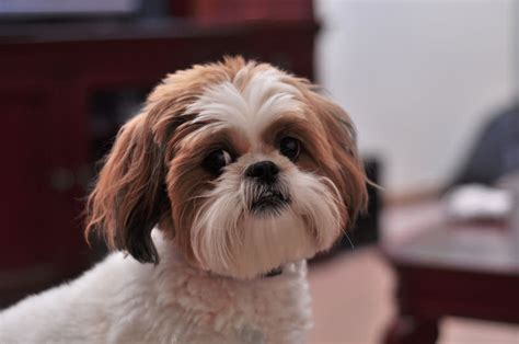 Shih Tzu Shedding Problems by 22 Hypoallergenic Breeds Reference