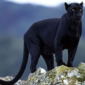 wallpaper jaguar hitam 30 interesting facts about big cats kickassfacts com