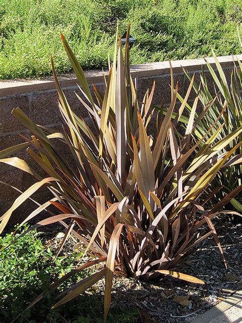 dusky chief new zealand flax phormium dusky chief in