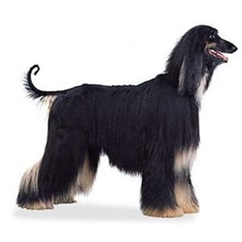 afghan hound puppies for sale afghan hound afghans and hound puppies on