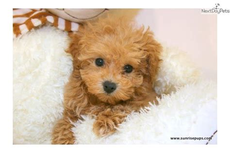 teacup maltipoo puppies 25 best ideas about teacup maltipoo on cutest small dogs small dogs